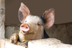 Curious cute pigs. Domestic pigs stock photos