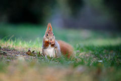 Curious cute red squirrel eatinh hazelnut in autumn forest ground Royalty Free Stock Image