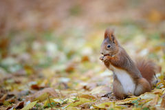 Curious cute red squirrel eatinh hazelnut in autumn forest ground Stock Images
