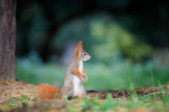 Curious cute red squirrel looking right in autumn forest ground Royalty Free Stock Photography