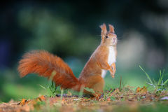 Curious cute red squirrel looking right in autumn forest ground Stock Photo