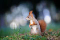 Curious cute red squirrel looking right in autumn forest ground stock image