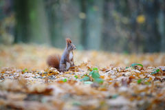 Curious cute red squirrel standing in autumn forest ground Royalty Free Stock Images