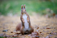 Curious cute red squirrel standing in autumn forest ground royalty free stock photography