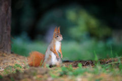 Curious cute red squirrel standing in autumn forest ground Stock Photos