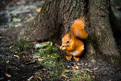 Curious cute Red Squirrel, Tamiasciurus hudsonicus sitting under the tree in the park. Red Squirrel, Tamiasciurus hudsonicus sitting under the tree in the park Royalty Free Stock Image
