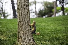 Curious cute squirrel climbing up a pine tree Royalty Free Stock Photography