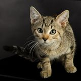 A curious and cute tabby kitten. Stock Photography