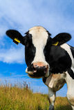 Curious dairy cow close-up in field Stock Photos