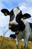 Curious dairy cow close-up in field Stock Photography