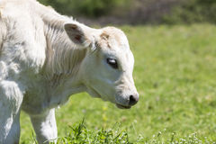 A curious dairy cow stands in her pasture/Dairy Cow/A curious da Royalty Free Stock Photo