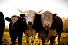 Curious dairy cows stand in the pasture looking to the camera Stock Photography