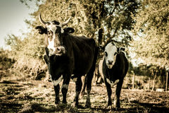Curious dairy cows stand in the pasture looking to the camera Royalty Free Stock Photography