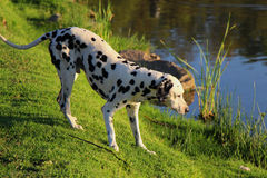 Curious Dalmation Explores the Waters Edge 1. Curious Dalmation explores the waters edge at a park dam royalty free stock photos