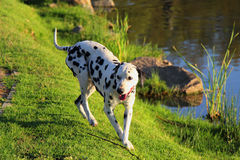 Curious Dalmation Explores the Waters Edge 2 Stock Image