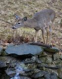 Curious deer. Curious whitetail deer by a cascade after the rain stock photography