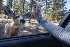 Curious Deer Royalty Free Stock Photos