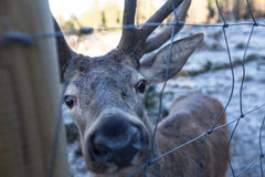 Curious deer behind a fence Stock Photography