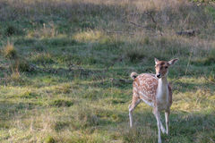 Curious Deer Royalty Free Stock Photography