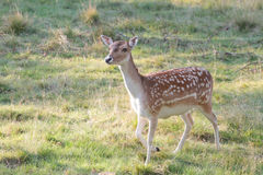 Curious Deer Royalty Free Stock Images