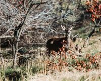 Curious deer between the bushes stock image