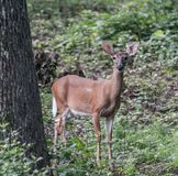 Curious. Deer with ears up in air keeping a close watch. Wildlife nature animals manuals stock photos