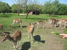 Curious deer Stock Images