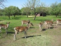 Curious deer Stock Image