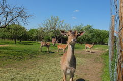 Curious deer royalty free stock photo