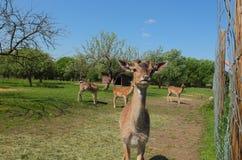 Curious deer Royalty Free Stock Photo