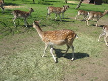 Curious deer royalty free stock image