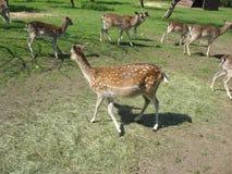 Curious deer Royalty Free Stock Image