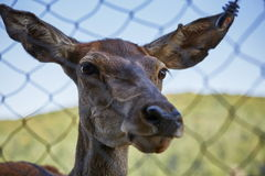Curious deer female portrait Royalty Free Stock Image
