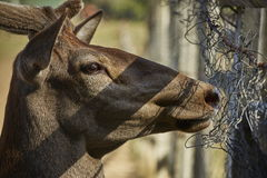 Curious deer hart portrait Stock Photos