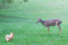 Curious deer watches chickens Stock Photography