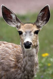 Curious Doe Stock Photo