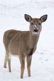 Curious Doe  Stock Image