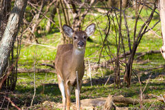 Curious Doe. Whitetail exhibiting no camera shyness royalty free stock image