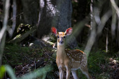 Curious doe Stock Photos