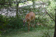 Curious doe Royalty Free Stock Photos