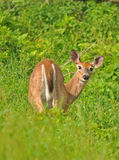 Curious Doe, Shenandoah Royalty Free Stock Images