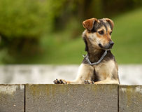 Curious Dog Royalty Free Stock Photos