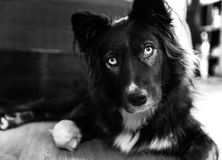 Curious dog. Black and white photo of a curious confused funny dog stock image