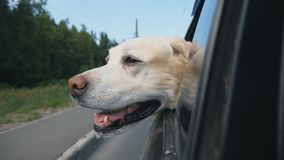 Curious dog breed labrador looks out the window of moving car. Domestic animal stuck his head out of auto to enjoy ride