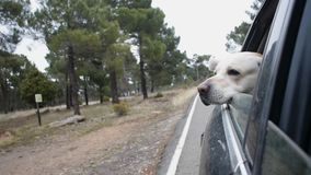 Curious dog breed labrador looks out the window of moving car stock video
