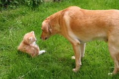 Curious Dog and Cat. A curious dog looking at a small cat outside in the grass royalty free stock photos