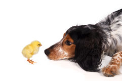 Curious dog with chick Stock Images