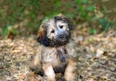 Curious Dog. Is a cute adorable fluffy puppy  giving those cute puppy dog eyes royalty free stock photography