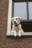 Curious dog hanging out the window Royalty Free Stock Photo