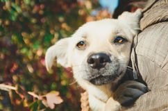 Curious dog looking at the camera. young mix breed dog head outdoors in nature sticking. royalty free stock photo